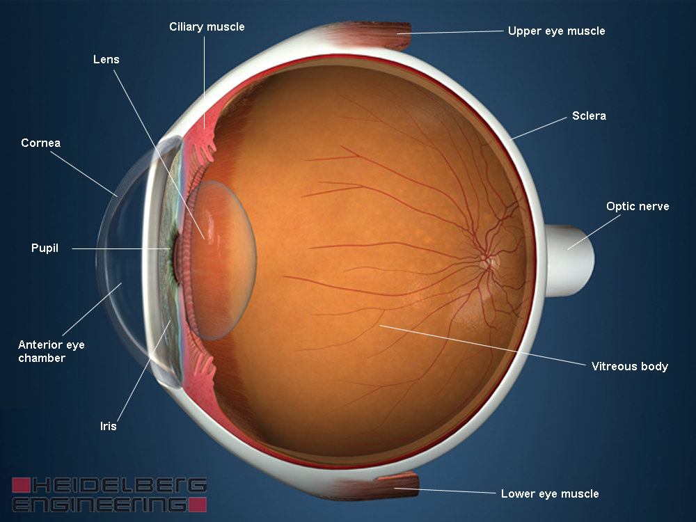 Anatomy And Function Of Your Eye Know The Eye