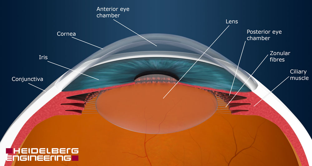 Anterior Part Of Your Eye