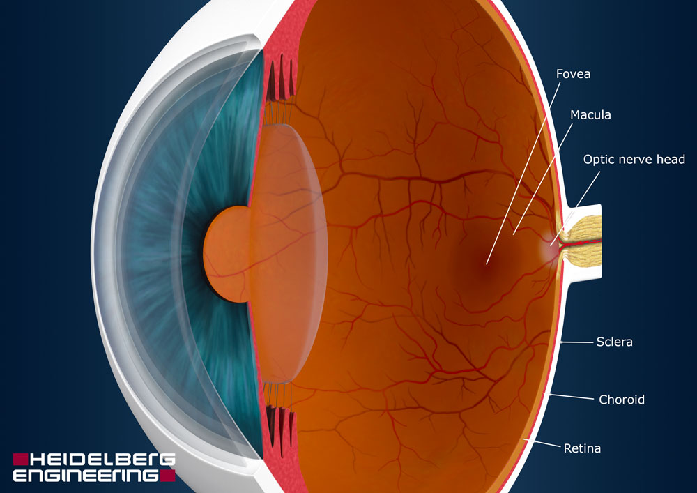 Posterior Part Of Your Eye Know The Eye